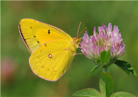 A female Orange Sulphur (Colias eurytheme) nectaring at Red Clover. Aug. 11, Hunterdon Co., NJ.