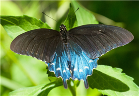 Pipevine Swallowtail (Battus philenor). June 12, Marshall Co., AL.