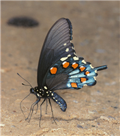Pipevine Swallowtail (Battus philenor). June 23, Bibb Co., AL.