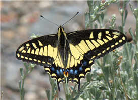Anise Swallowtail (Papilio zelicaon). June 27, Tulare Co., CA.