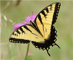 A male Eastern Tiger Swallowtail (Papilio glaucus). Aug. 11, Hunterdon Co., NJ.