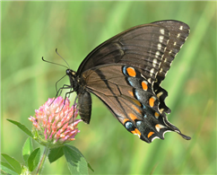A female Eastern Tiger Swallowtail (Papilio glaucus) nectaring at Red Clover. Aug. 11, Hunterdon Co., NJ.