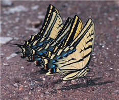 Male Two-tailed Swallowtails (Papilio multicaudata) mudpuddling. June 26,  Cochise Co., AZ.