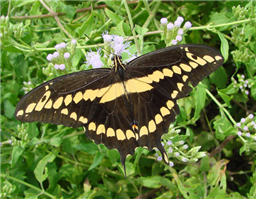 Giant Swallowtail (Papilio cresphontes). Oct. 24, National Butterfly Center, Hidalgo Co., TX.