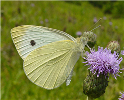 A male Cabbage White (Pieris rapae) nectaring at Canada Thistle, Sussex Co., NJ.
