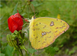 A Cloudless Sulphur (Phoebis sennae) nectaring at Turk's-cap, Oct. 14, Hidalgo Co., TX.