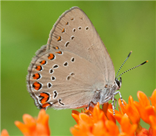 Coral Hairstreak (Satyrium titus) on Butterfly Milkweed, June 12, Marshall Co., AL.