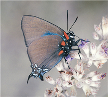 A male Great Purple Hairstreak (Atlides halesus). Imperial Co., CA.