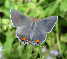 A female Gray Hairstreak (Strymon melinus), National Butterfly Center, Hidalgo Co., TX.