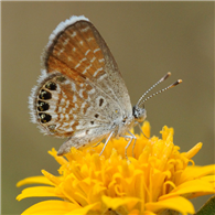Western Pygmy-Blue (Brephidium exile). Sept. 12, National Butterfly Center, Hidalgo Co., TX.