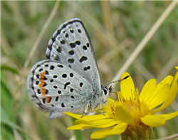 'Sulphur-flower' Dotted Blue (Euphilotes enoptes ancilla). July 6, Jefferson Co., CO.
