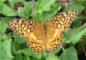 Variegated Fritillary (Euptoieta claudia). Oct. 20, National Butterfly Center, Hidalgo Co., TX.