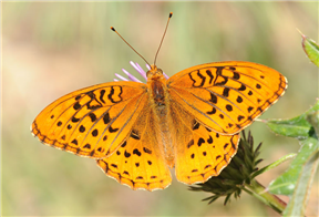 Great Spangled Fritillary (Speyeria cybele). July 31, Tuolumne Co., CA