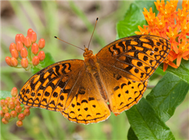 A male Great Spangled Fritillary (Speyeria cybele) on Butterfly Milkweed. June 14, Marion Co., TN