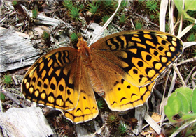 A female Great Spangled Fritillary (Speyeria cybele). June 11, Morris Co., NJ