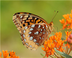 A Great Spangled Fritillary (Speyeria cybele) on Butterfly Milkweed. July 6, Westchester Co., NY