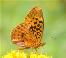 A Meadow Fritillary (Boloria bellona) on goldenrod. Aug. 20, Sussex Co., NJ.