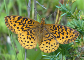 Meadow Fritillary (Boloria bellona). June 19, Warren Co., NJ.