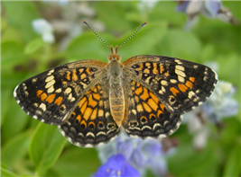 A female Phaon Crescent (Phyciodes phaon). June 14, National Butterfly Center, Hidalgo Co., TX.