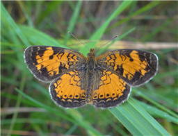 A male Northern Crescent (Phyciodes selenis). June 23, Lake Co., MN.