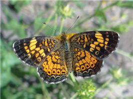 A female Pearl Crescent (Phyciodes tharos). April 2, National Butterfly Center, Hidalgo Co., TX.
