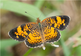 A male Pearl Crescent (Phyciodes tharos). June 12, Marshall Co., AL.