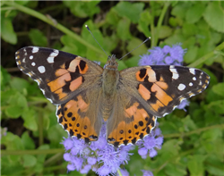 Painted Lady (Vanessa cardui) on Betony Mistflower. Mar 30, National Butterfly Center, Hidalgo Co., TX.