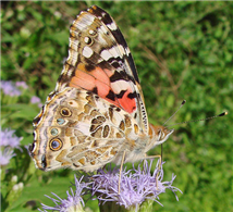 A Painted Lady (Vanessa cardui), nectaring at butterfly mistflower. Oct. 30, Hidalgo Co., TX.