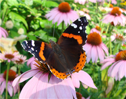 A Red Admiral (Vanessa atalanta)  nectaring at a coneflower. July 4, Columbia Co., NY.
