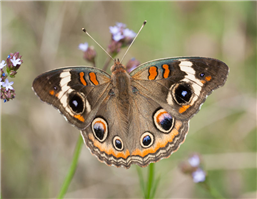 A Common Buckeye (Junonia coenia). July 17, Holmes Co., MS.