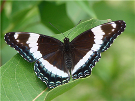 White Admiral (Limenitis arthemis arthemis), July 5, Greene Co., NY.