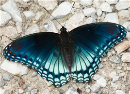 Red-spotted Purple (Limenitis arthemis astyanax). July 20, Sharkey Co., MS.