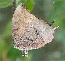A newly emerged Tropical Leafwing (Anaea aidea). Dec 13, National Butterfly Center, Hidalgo Co., TX.