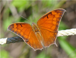 Tropical Leafwing (Anaea aidea). Oct. 27, National Butterfly Center, Hidalgo Co., TX.