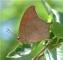 Goatweed Leafwing (Anaea andria). June 23, Travis Co., TX.