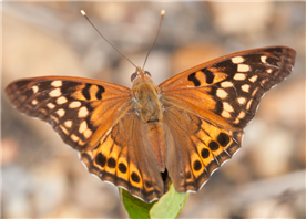 A male Tawny Emperor (Asterocampa clyton). July 19, Sharkey Co., MS.