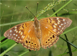 A female Tawny Emperor (Asterocampa clyton). Oct. 27, National Butterfly Center, Hidalgo Co., TX.