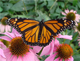 A female Monarch (Danaus plexippus) nectars at coneflowers. Oct. 25, Travis Co., TX.