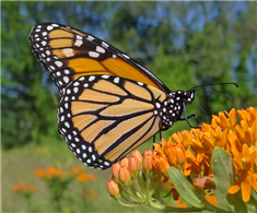 A Monarch (Danaus plexippus) nectars at Butterfly Milkweed. July 9, Westchester Co., NY.