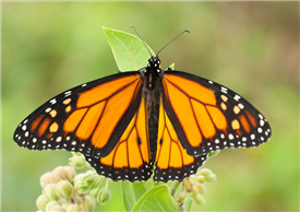 A male Monarch (Danaus plexippus). July 9, Cumberland Co., NJ.