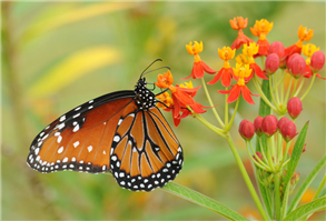 A Queen (Danaus gilippus) nectaring at Tropical Milkweed. Sept. 14, National Butterfly Center, Hidalgo Co., TX.