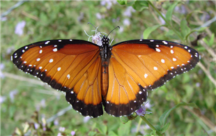 A female Queen (Danaus gilippus). Oct. 23, National Butterfly Center, Hidalgo Co., TX.