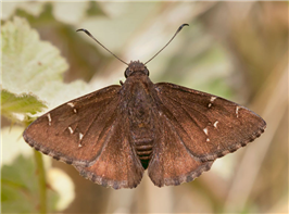 Northern Cloudywing (Thorybes pylades). May 7, Shasta Co., CA.