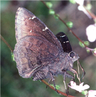 Northern Cloudywing (Thorybes pylades). Mar. 10, Orange Co., FL.