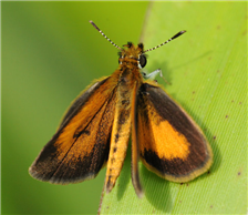 Least Skipper (Ancyloxypha numitor). June 16, Morris Co., NJ.