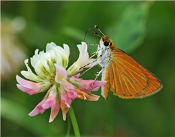 Least Skipper (Ancyloxypha numitor) nectaring at White Clover. July 6, Westchester Co., NY.