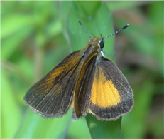Least Skipper (Ancyloxypha numitor). Aug. 22, Chesapeake Co., VA.