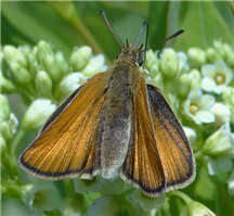 A female European Skipper (Thymelicus lineola). June 18, Morris Co., NJ.