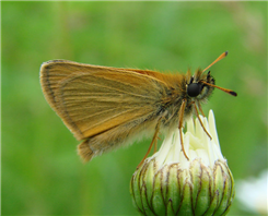 European Skipper (Thymelicus lineola). June 4, Morris Co., NJ.