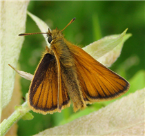 Male European Skipper (Thymelicus lineola). July 5, Greene Co., NY.
